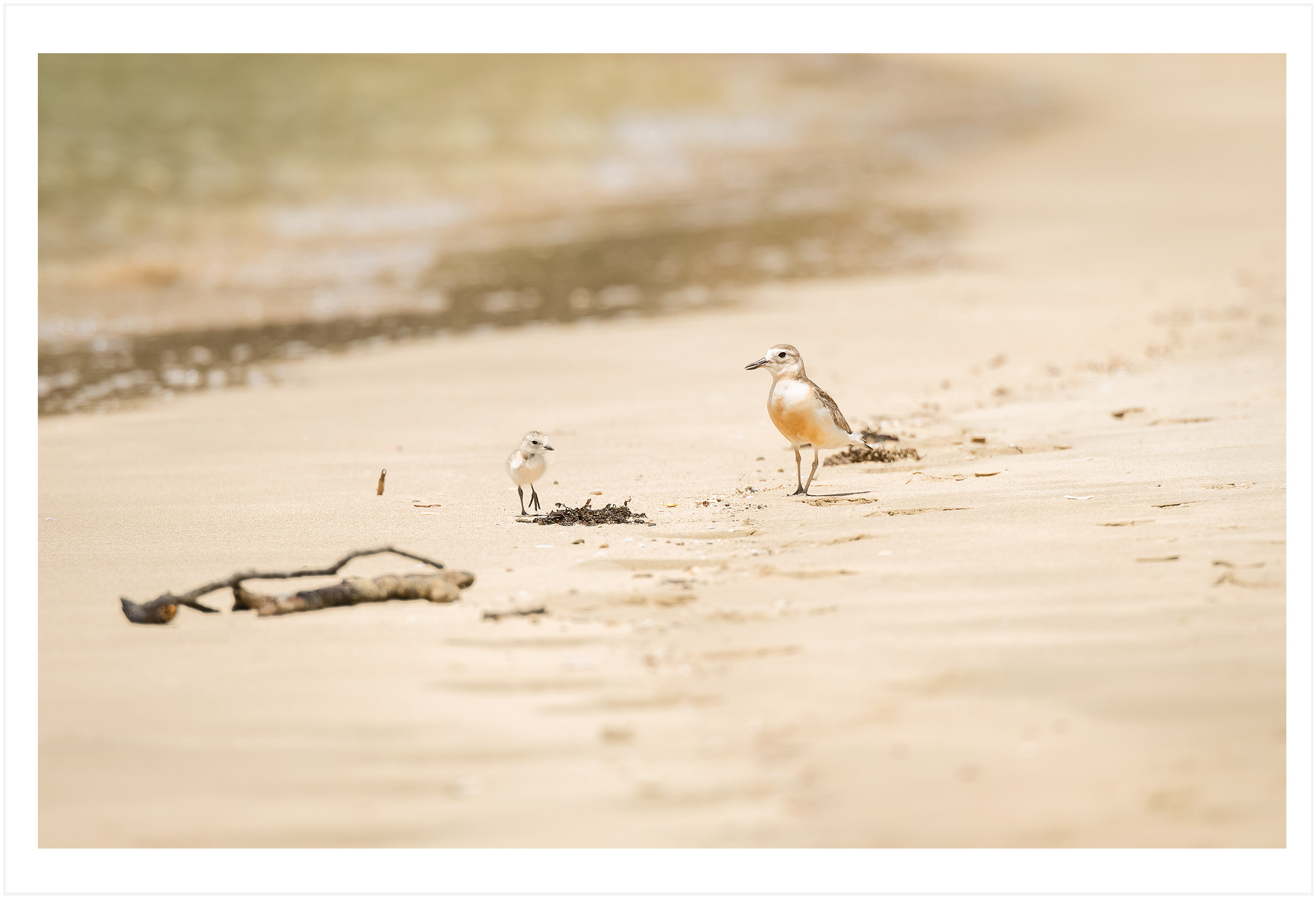 dotterel and chick